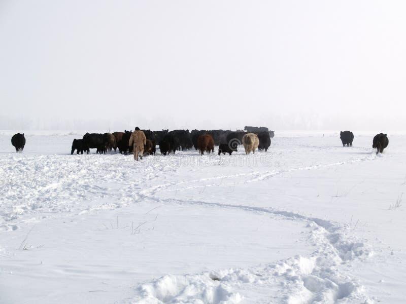 来家庭母牛 免版税库存照片