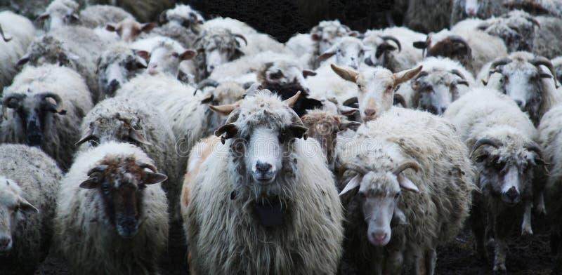 来的绵羊 图库摄影
