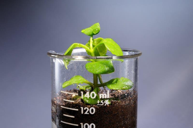 来自实验室玻璃的小植物 免版税图库摄影