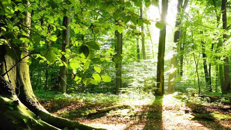 来通过branchesin的清早阳光一个橡木森林在东部得克萨斯 库存照片