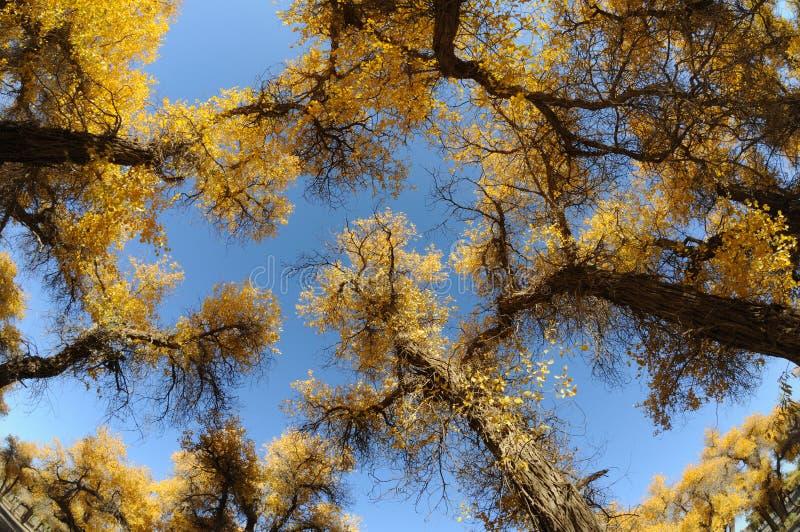 杨属euphratica结构树 库存图片