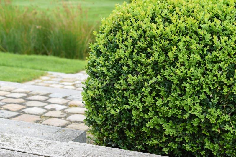 黄杨属Sempervirens,黄杨木潜叶虫植物 免版税库存照片