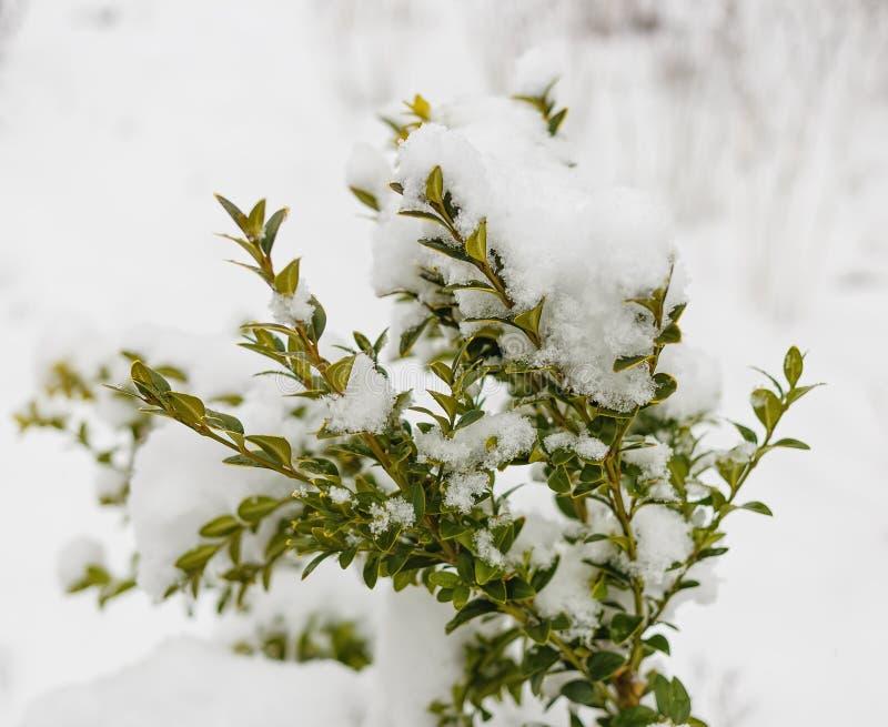 黄杨木潜叶虫灌木在雪的冬日 免版税库存图片
