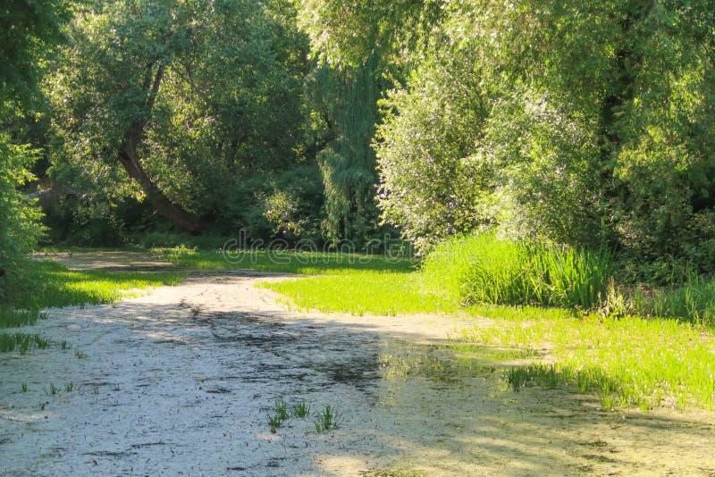 杨柳包围的老长得太大的绿色池塘 典型的俄国夏天风景视图 库存照片