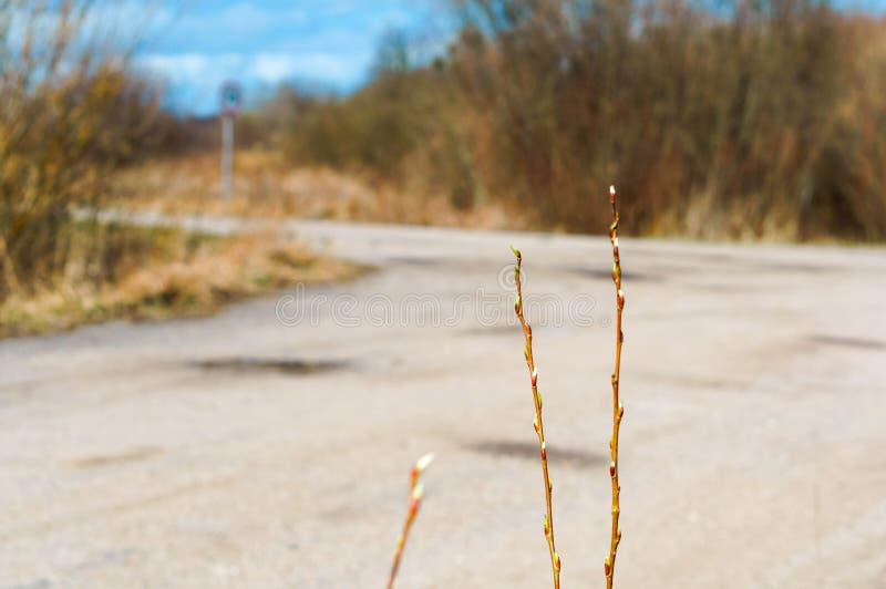 杨柳枝杈在早期的春天,叶子开始在春天增长 免版税库存照片