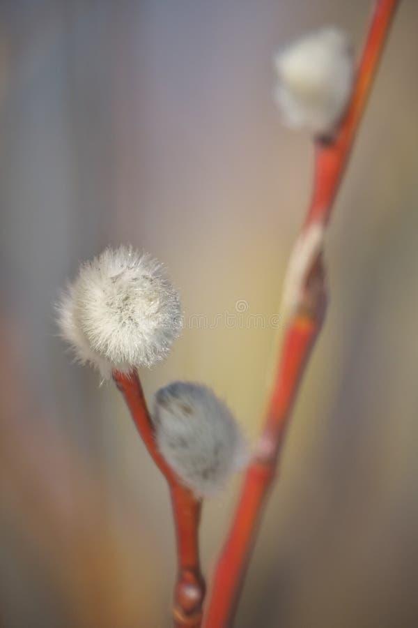 杨柳枝杈特写镜头作为春天标志,室外 库存照片