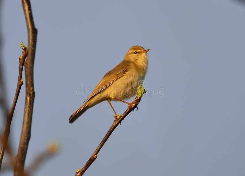 杨柳鸣鸟& x28; Phylloscopus trochilus& x29; 免版税图库摄影