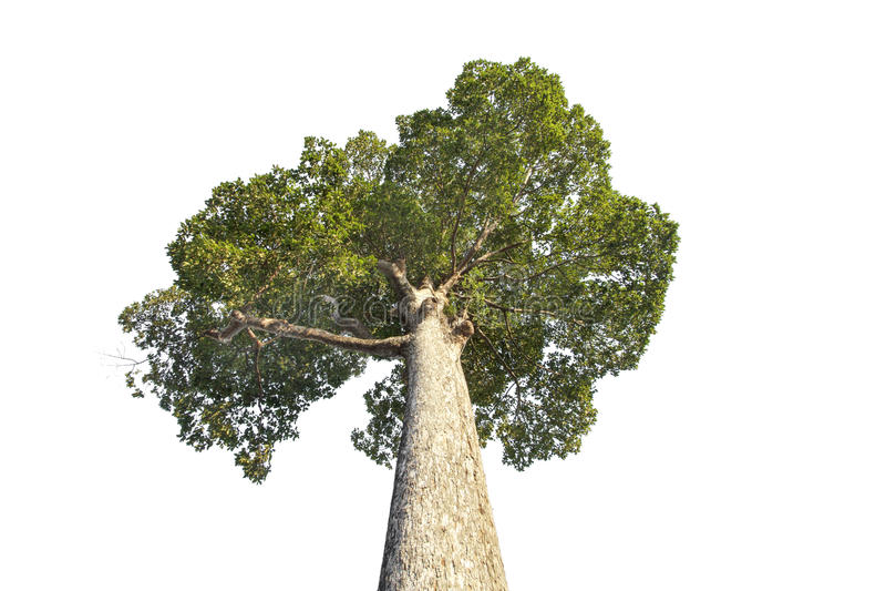 杨树或Dipterocarpus alatus Roxb 免版税库存照片