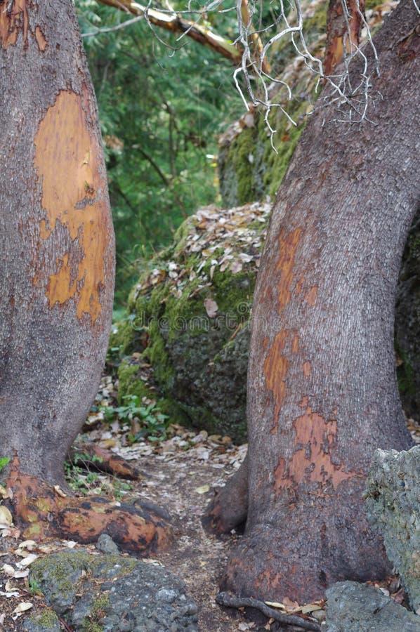 杨梅树干做的自然门在太平洋西北地区的供徒步旅行的小道 免版税库存照片