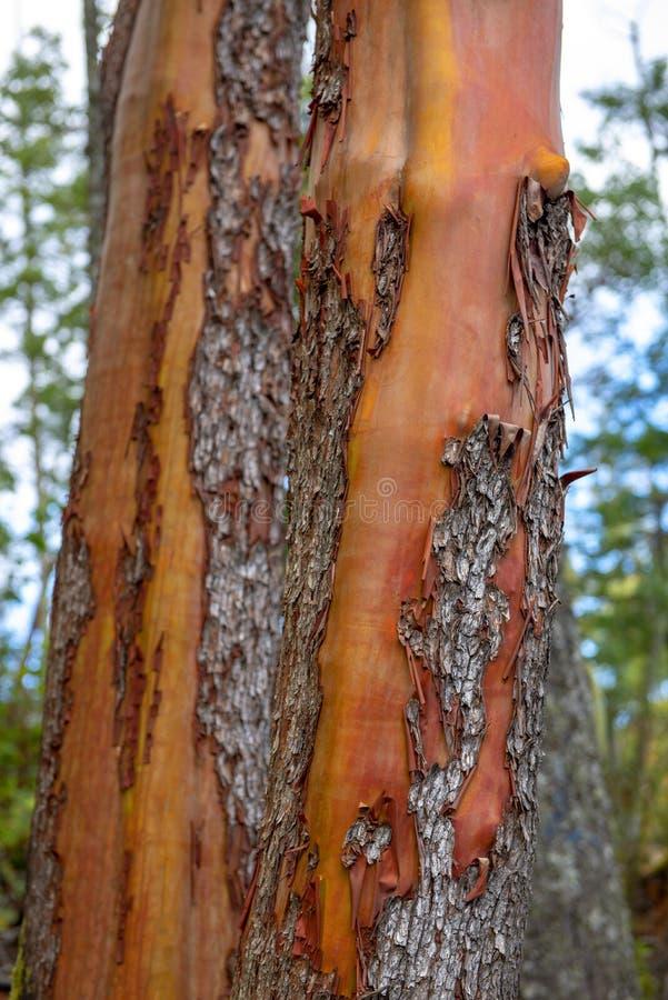 杨梅树皮纹理细节在温哥华岛森林里 免版税库存图片