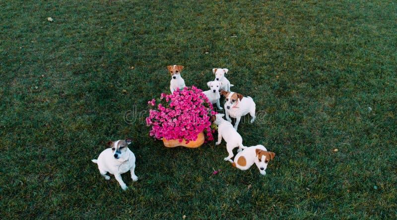 杰克·拉塞尔(Jack Russell)狗带着小狗在草坪上行走 图库摄影