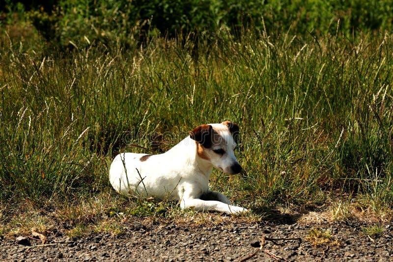杰克休息在长的草的罗素 免版税图库摄影