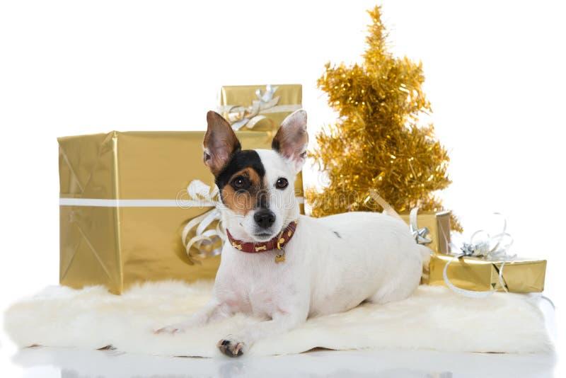 杰克罗素与圣诞节装饰的狗狗 免版税库存照片