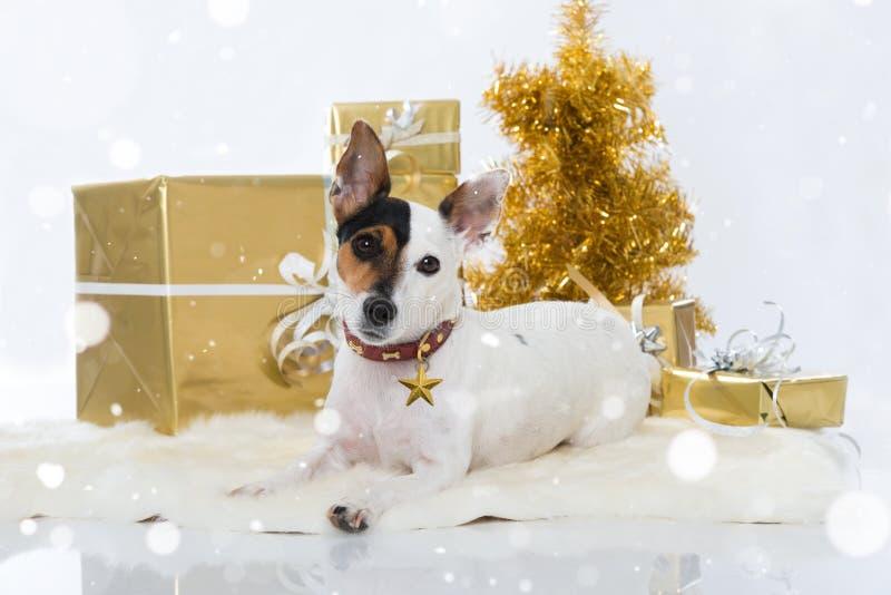 杰克罗素与圣诞节装饰的狗狗 库存图片