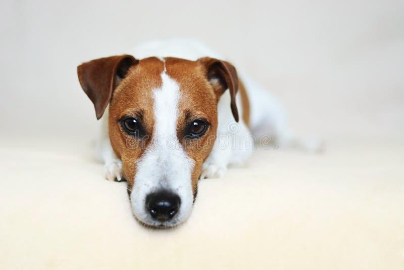 杰克罗素与锋利的小狗眼睛的狗狗 库存照片