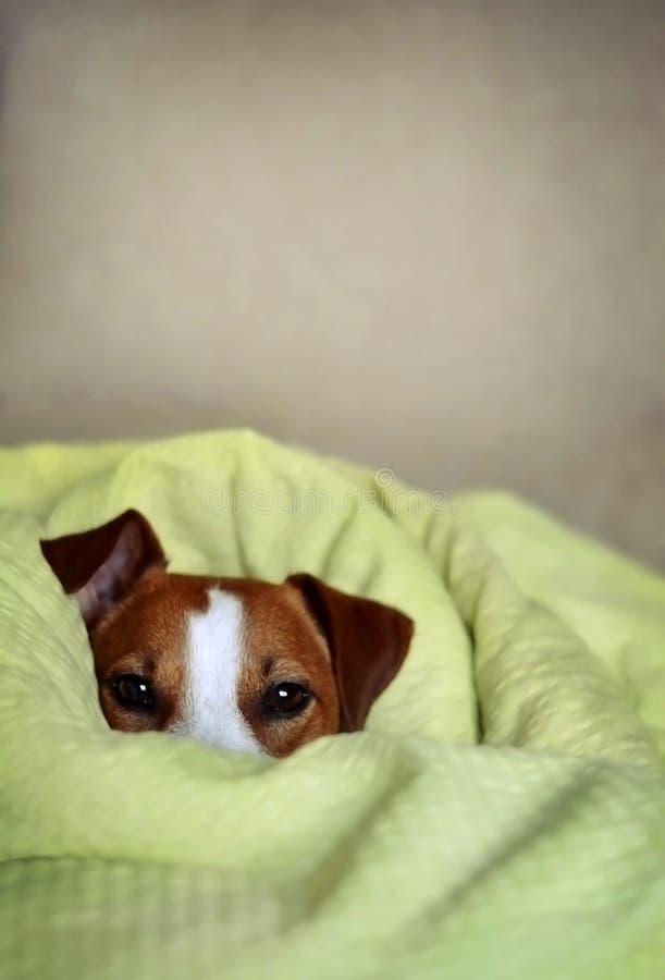杰克罗素坐在床上的狗狗包裹在蓬松Gree 免版税库存照片