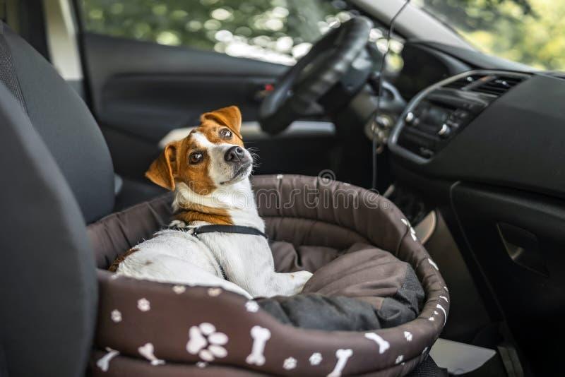 杰克罗素狗在懒人狗床上 享受汽车乘驾的宠物 库存图片