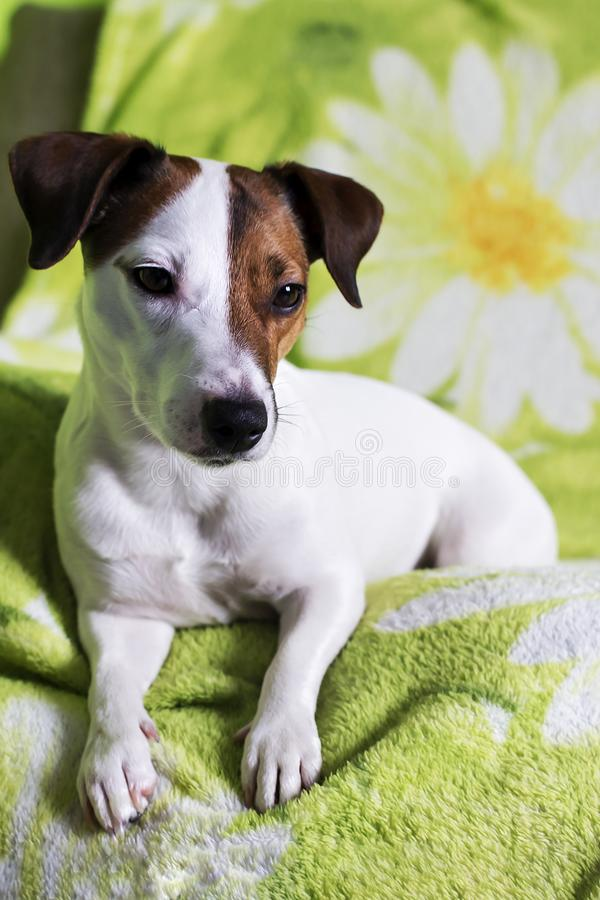 杰克罗素狗是非常哀伤说谎在沙发 库存照片