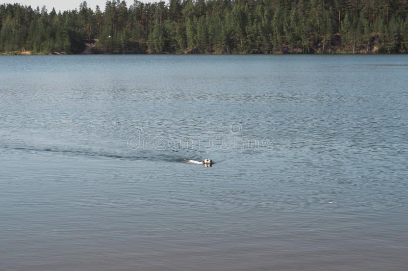 杰克罗素狗游泳在有球的湖 逃脱从夏天热的狗在凉快的湖 库存图片