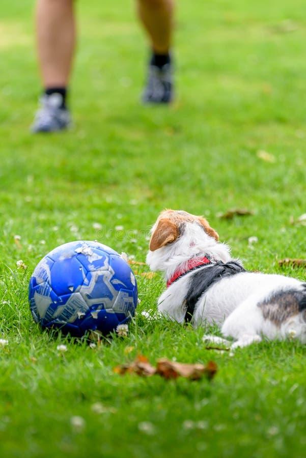 杰克罗素狗狗在查寻的公园准备好使用与所有者 库存照片