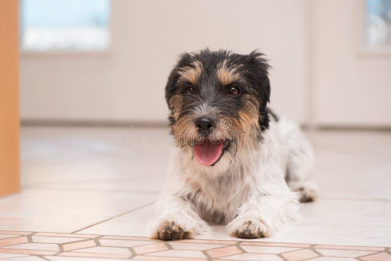 杰克罗素狗狗在等待步行的白色门和is is前面的地板上说谎 库存照片
