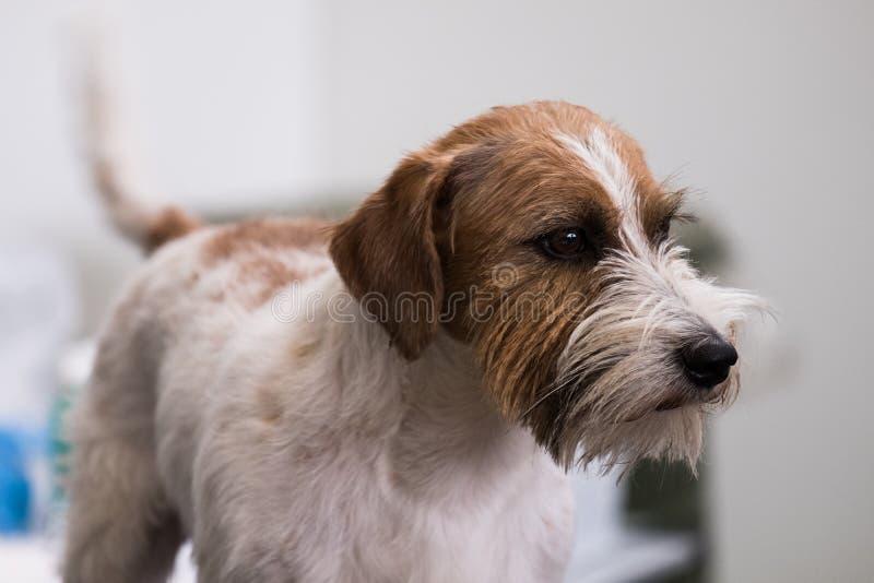 杰克罗素狗的强烈的画象与一件粗砺的外套的,白色和棕色 库存照片