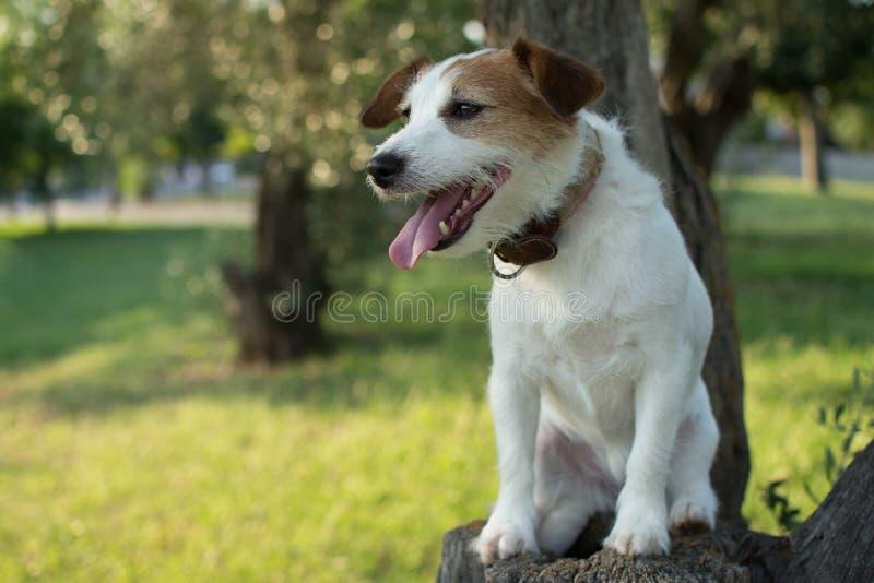 杰克罗素狗的画象坐在看的心慌・心郁・逐个捉的一棵树伸出舌头和斜向一边 库存照片