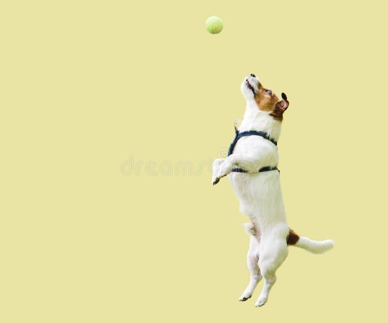 杰克罗素跳跃直接对黄色墙壁的狗狗拿到网球 库存照片
