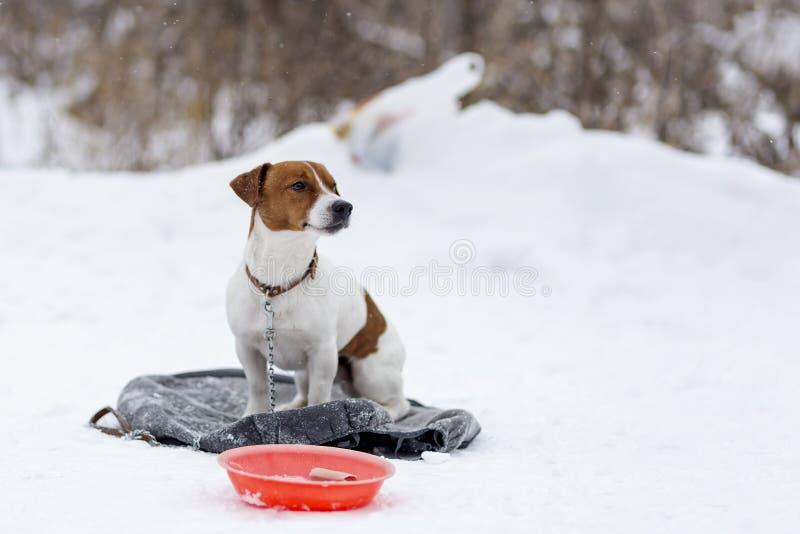 杰克罗素饥饿的冷的冬天 免版税库存照片