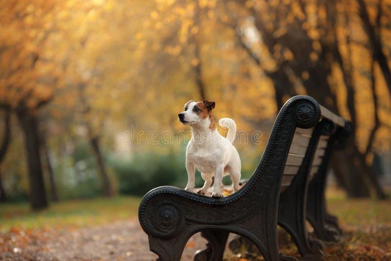 杰克罗素与叶子的狗狗 金子和红颜色,步行在公园 免版税图库摄影