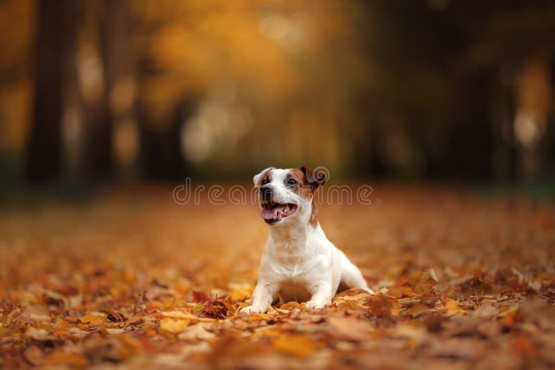 杰克罗素与叶子的狗狗 免版税库存图片