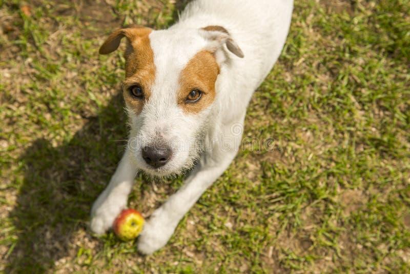 杰克罗素教区牧师使用与苹果玩具的狗狗户外在绿草 库存图片