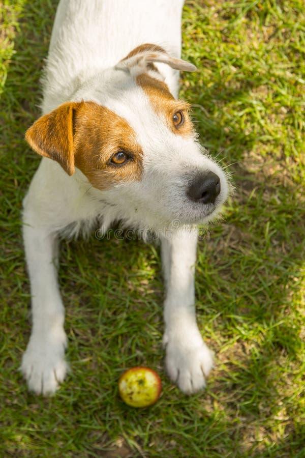 杰克罗素教区牧师使用与苹果玩具的狗狗户外在绿草 库存照片