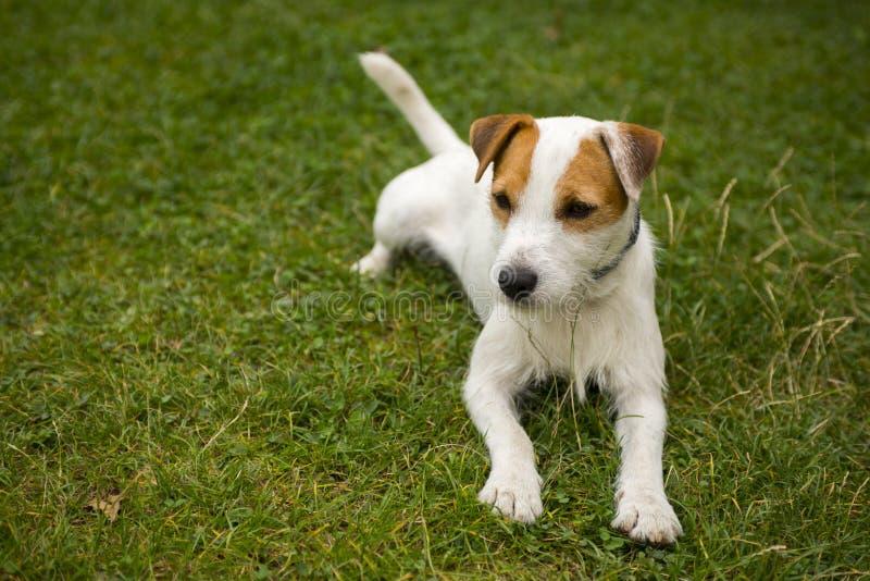 杰克罗素教区牧师使用户外在绿草的狗狗 免版税库存图片
