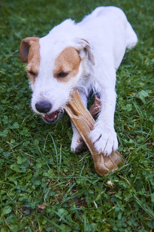杰克罗素教区牧师嚼骨头的狗狗 免版税库存图片