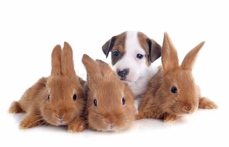 杰克罗素狗和兔宝宝 免版税库存图片