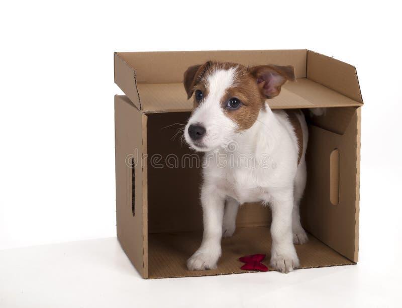 杰克罗素狗在白色背景的演播室 库存照片