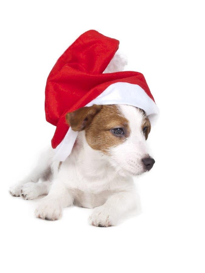 杰克罗素狗在白色背景的演播室 免版税库存照片