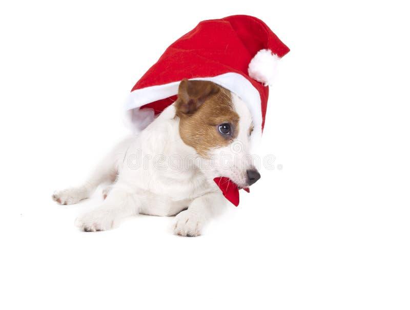 杰克罗素狗在白色背景的演播室 免版税图库摄影