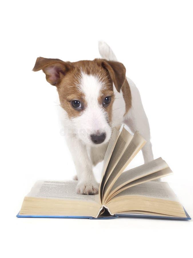 杰克罗素狗在白色背景的演播室 免版税库存图片