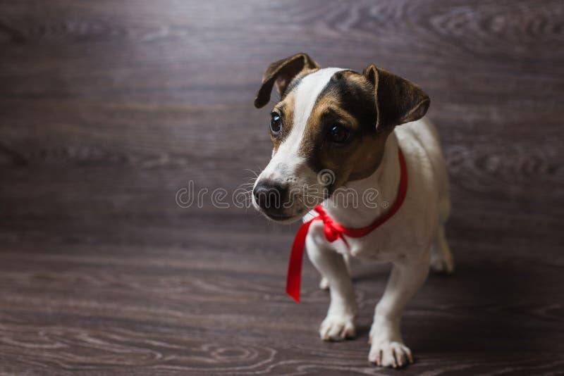杰克罗素狗摆在 免版税图库摄影
