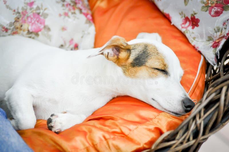 杰克罗素狗睡觉 库存照片