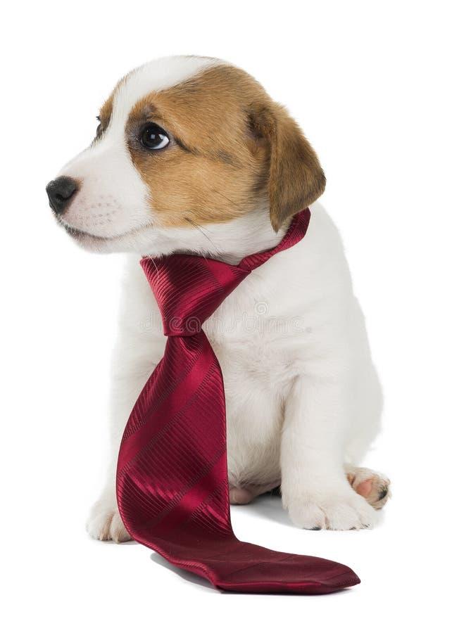 杰克罗素狗领带 库存照片