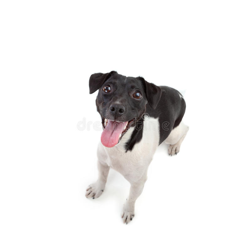 杰克罗素狗 免版税库存图片