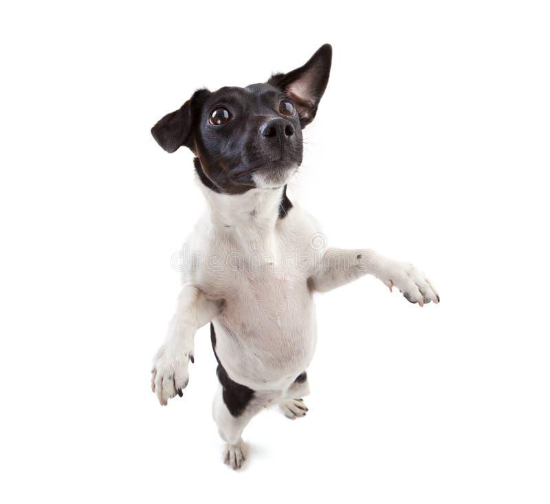 杰克罗素狗 库存图片
