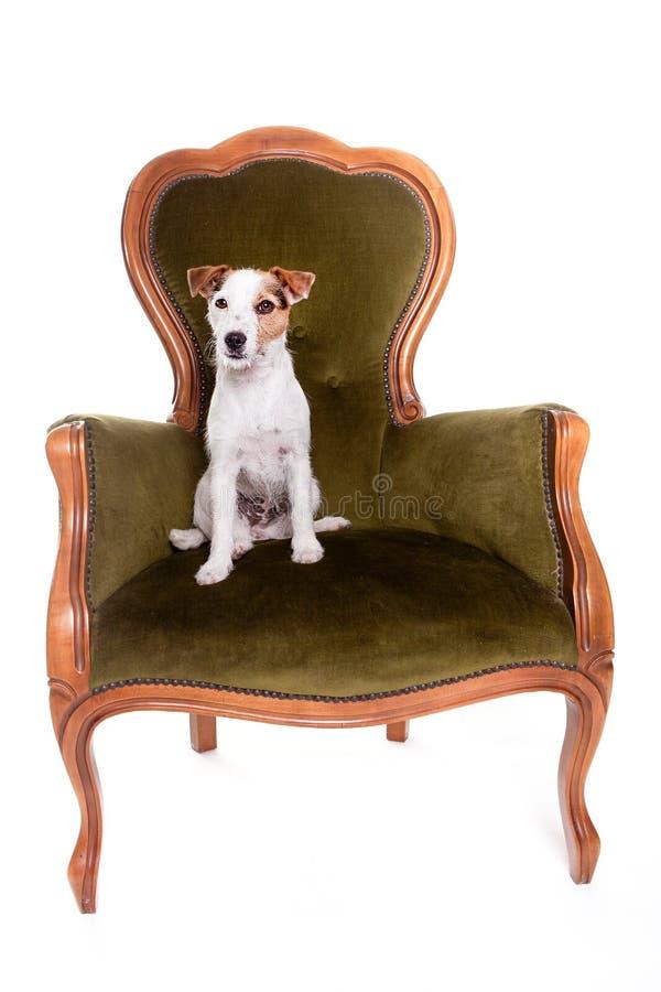 杰克罗素画象坐一把大椅子 库存照片