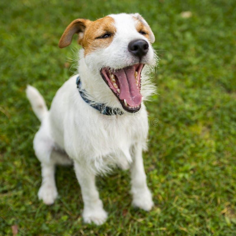杰克罗素yawling教区牧师的狗 免版税图库摄影