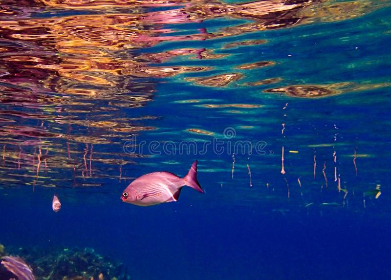 杰克鱼在Roatan中洪都拉斯蓝色加勒比水域  库存照片