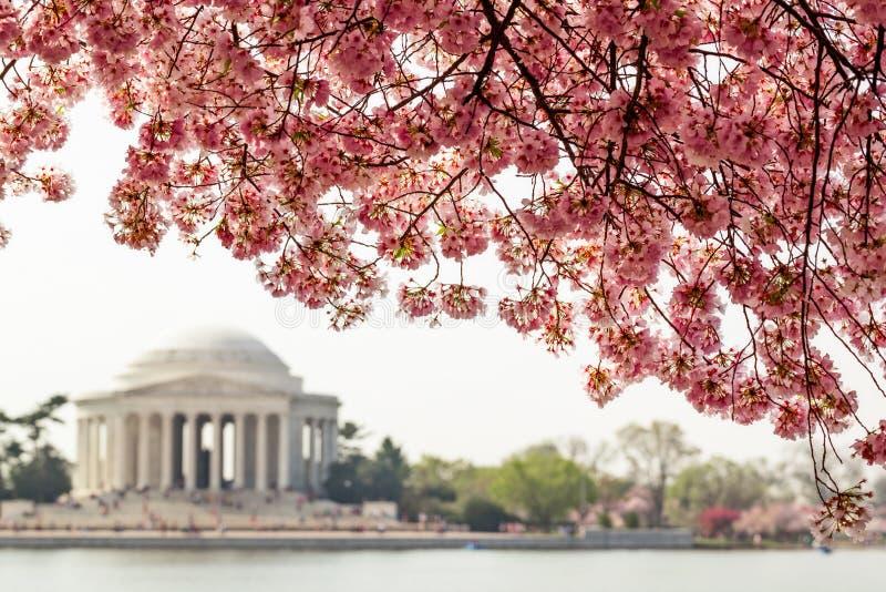 杰斐逊纪念品在樱花树下 免版税库存照片