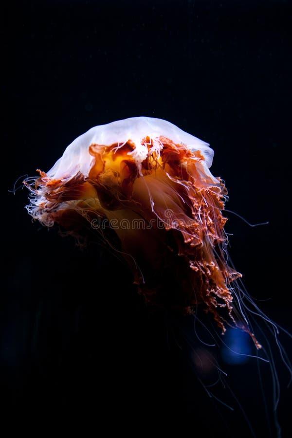 松包美丽的水母,在霓虹灯的水母 有生动的水母的水族馆 水下的生活在海洋 库存图片